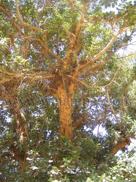 رقم 33  نسخة من شجرة مريم والتى  زرعها الاباء الفرنسيسكان بكنيسة العائلة  المقدسة (1) copy